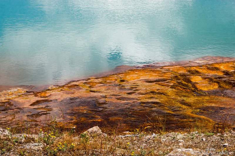 Flowers at the edge of a thermal pool, Yellowstone National Park.