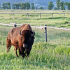 Buffalo - Mormon Row, Grand Teton National Park.   This guy walked within 25 feet of us while we were taking photos of the Mormon Row barns.  Stared  at us for several minutes and then just calmly walked  back to his buddy.   Just curious, I guess. :)