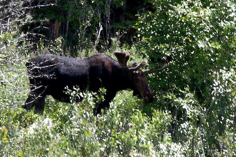 Moose near Jenny Lake, Grand Teton National Park