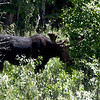 Moose near Jenny Lake, Grand Teton National Park
