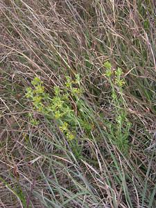 Pimelea curviflora / Curved Rice-flower