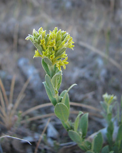 Pimelea curviflora / Curved Rice-flower