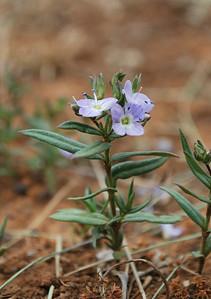 Veronica gracilis