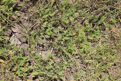 Mt Derrimut Grasslands - Calotis scabisifolia