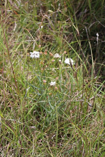 Mt Derrimut Grasslands - Senecio macrocarpus