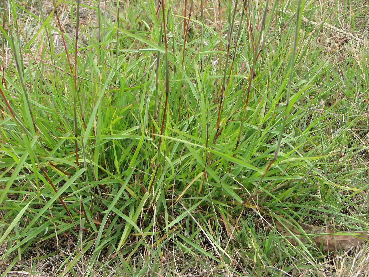 Bothriochloa macra / Red-leg Grass