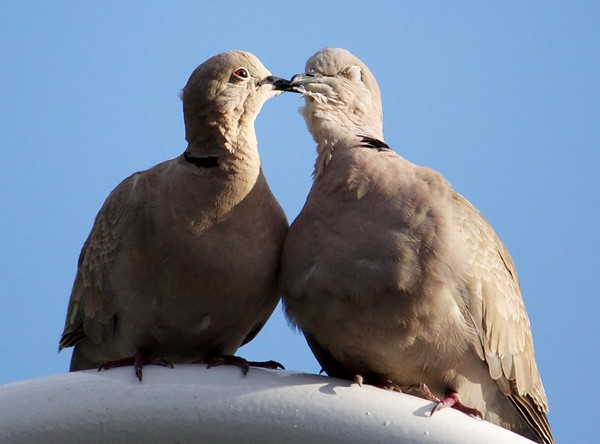 ring-necked doves