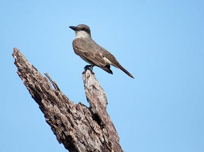 gray kingbird.jpg