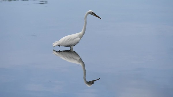 Egret Cove egret