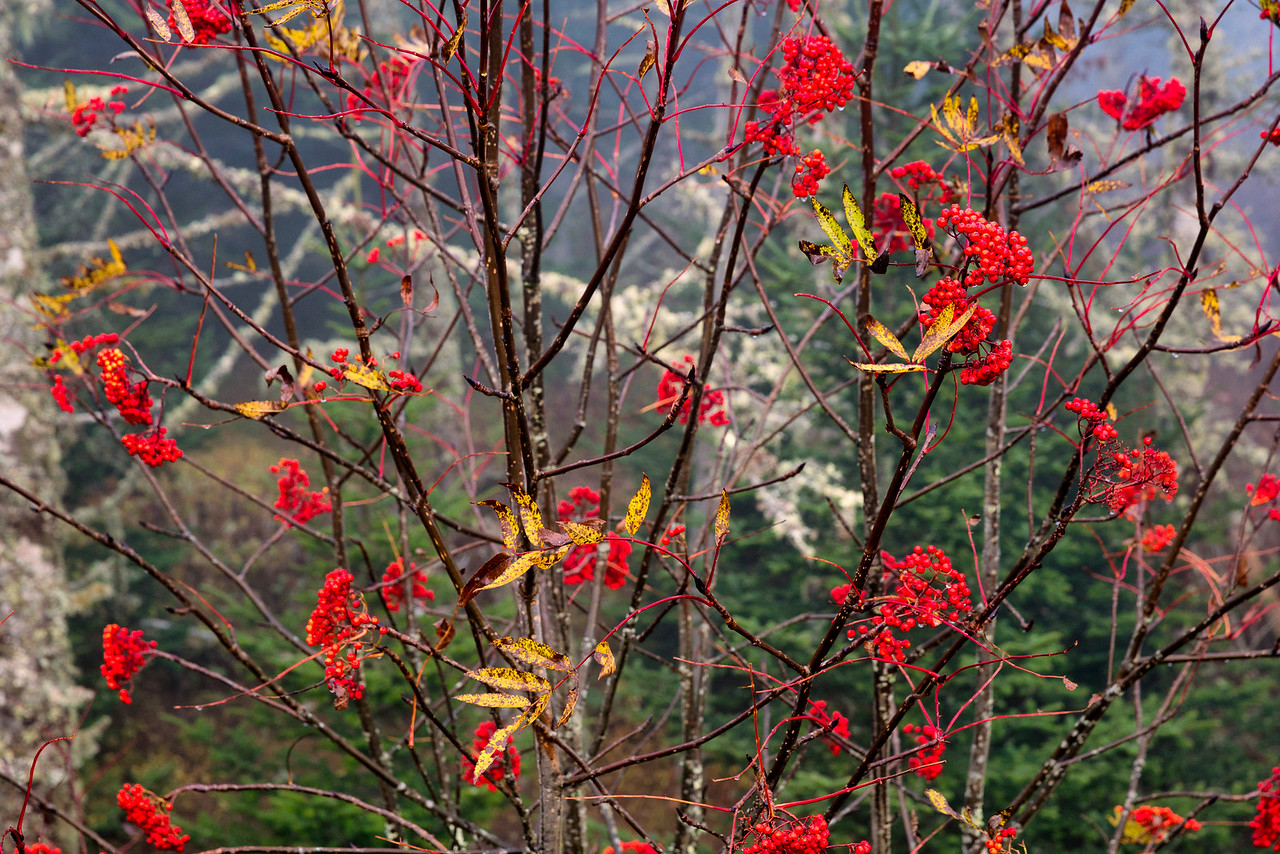 Red Berries on Clingmans Dome