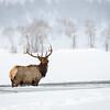 Elk | Yellowstone NP