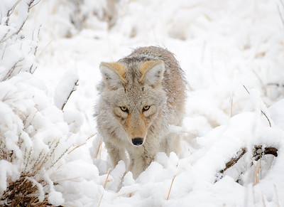 Coyote | Yellowstone NP