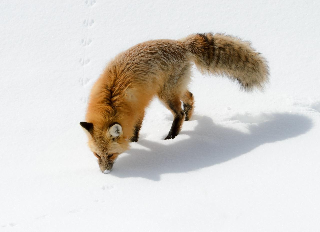 Red Fox | Yellowstone NP