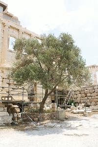 Athena's olive tree