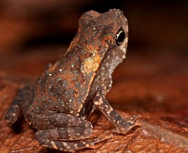 Juvenile toad (Rhinella martyi)