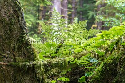 Deep Forest fern