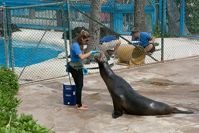 Training the sea lion
