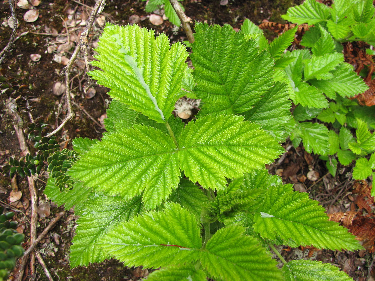 Leaves of 'akala (Rubus hawaiensis [Rosaceae]), a species found in Waikamoi Preserve  Copyright (c) 2010 by Forest & Kim Starr (starrimages@hear.org), used with permission
