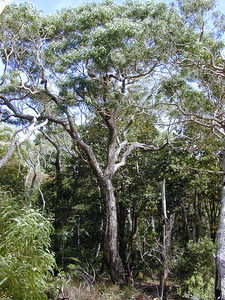 "Koa (Acacia koa [Fabaceae]) is a dominant tree endemic to Hawaii, and an important component of the forest in Waikamoi Preserve.  It has beautiful wood; however, ""[d]espite the economic, ecological, and cultural value of koa, not a single stand of koa...in Hawaii has been through a full silvicultural rotation (i.e., establishment, stand improvement, harvest, and reestablishment)"" (from USDA).  More information about koa is available from the Hawaiian Ecosystems at Risk project (HEAR).  (image by Forest & Kim Starr)  Information from TNCH's  Waikamoi Preserve Plant Identification Cards:  Description: Koa, the largest native tree in Hawaii, grows up to 35 m (115 ft) tall with basal diameters up to 1.5 m (5 ft) wide. The trunk is light tan or gray; smooth on the juvenile trees, and rough and thick on mature trees. Saplings resemble koa haole, having true leaves composed of tiny leaflets. Koa seedlings (and young stems) have a fine golden fuzz on their stems, which distinguishes them from koa haole seedlings. Mature koa trees have leaves reduced to photosynthetic leaf stems, or phyllodes, which are sickle-shaped, 7.5-26 cm (3-10.4 in) long, 6-25 mm (0.25-1 in) wide, and alternately arranged. Tiny flowers form dense, greenish-yellow round heads. The fruit is a long flat pod containing ellipsoid seeds; it is ripe when it turns brown and rattles when shaken.  Distribution and Ecology: Koa occurs in dry through wet forest at 60-2,060 m (200-6,800 ft) elevation on most of the main islands. Koa forests are an important habitat for rare birds and are sensitive to grazing by ungulates.  Early Hawaiians used the hearty, rich wood for war canoes, paddles, and surfboards. Koa was not used for calabashes until modern times as the wood left an ill taste on food. The kahuna kalai wa'a, or canoe priest, took direction from the 'elepaio, an endemic bird, in selecting the right koa log. If the 'elepaio pecked at the log, it was deemed unsuitable because it was probably infested with insects, their larvae, or eggs."