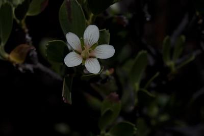Flowers of hinahina (Geranium cuneatum) in (or near) Waikamoi Preserve (East Maui) (July 2010)  Copyright (c) 2010 by Philip A. Thomas (imagesbypt@philipt.com)