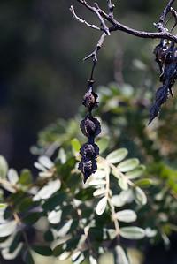 Seed pods of mamane (Sophora chrysophylla) between Haleakala National Park and Waikamoi Preserve (East Maui) (July 2010)  Copyright (c) 2010 by Philip A. Thomas (imagesbypt@philipt.com)