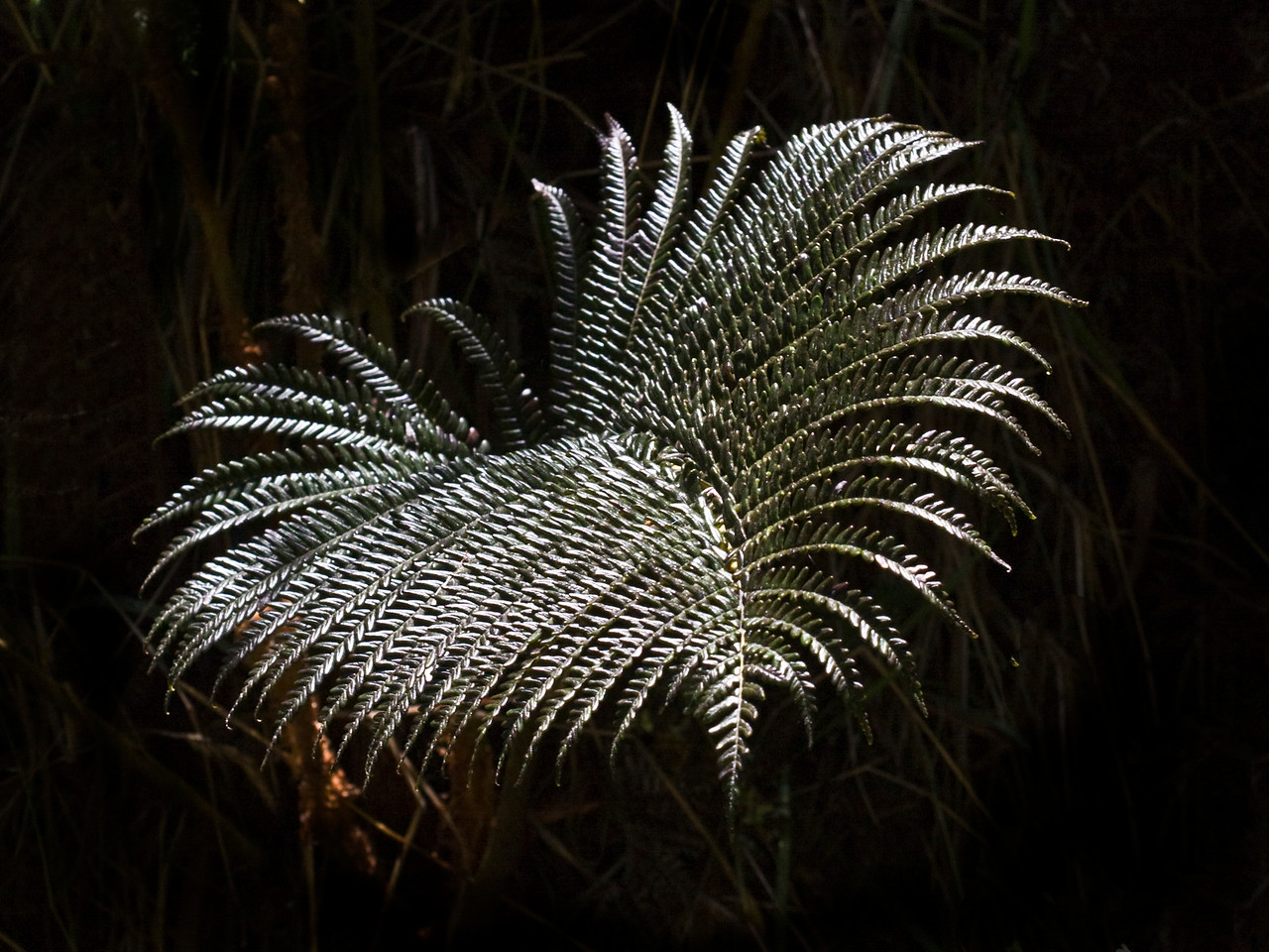 Sadleria fern in Waikamoi Preserve (East Maui) (July 2010)  Copyright (c) 2010 by Philip A. Thomas (imagesbypt@philipt.com)