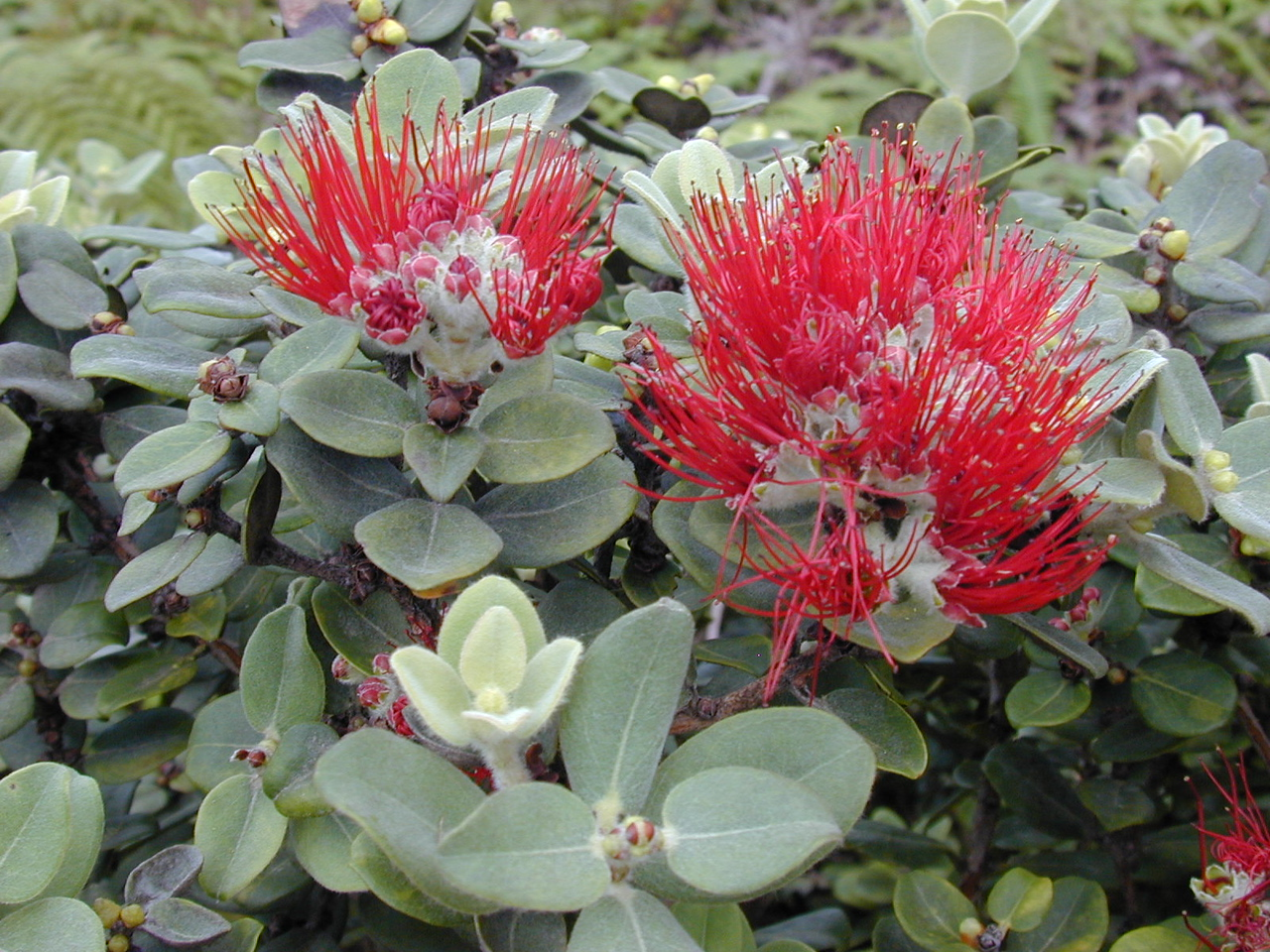 'Ohia (Metrosideros polymorpha [Myrtaceae]) is a dominant forest tree in the Waikamoi Preserve.  The native honeycreepers depend on its nectar for food.  More information about 'ohia is available from the Hawaiian Ecosystems at Risk project (HEAR).  (image by Forest & Kim Starr)