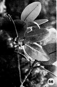 56. Melicope oahuensis Image from the Kaala Bog Plant Guide: Kaala Natural Area Reserve, Mt. Kaala, Oahu, a 1992 publication of the State of Hawaii (DLNR/DOFAW) .