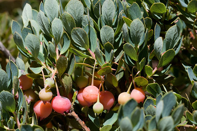Berries (fruits) of 'ohelo (Vaccinium sp.) between Haleakala National Park and Waikamoi Preserve (East Maui) (July 2010)  Copyright (c) 2010 by Philip A. Thomas (imagesbypt@philipt.com)