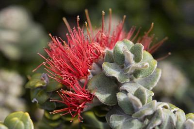 Flower and leaves of 'ohia (Metrosideros polymorpha) in Waikamoi Preserve (or nearby Haleakala National Park) (March 2009)  Copyright (c) 2009 by Philip A. Thomas (imagesbypt@philipt.com)