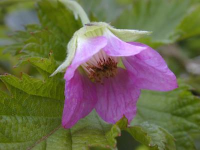Flower of 'akala (Rubus hawaiensis [Rosaceae]) in Waikamoi Preserve  Copyright (c) by Philip A. Thomas (imagesbypt@philipt.com)