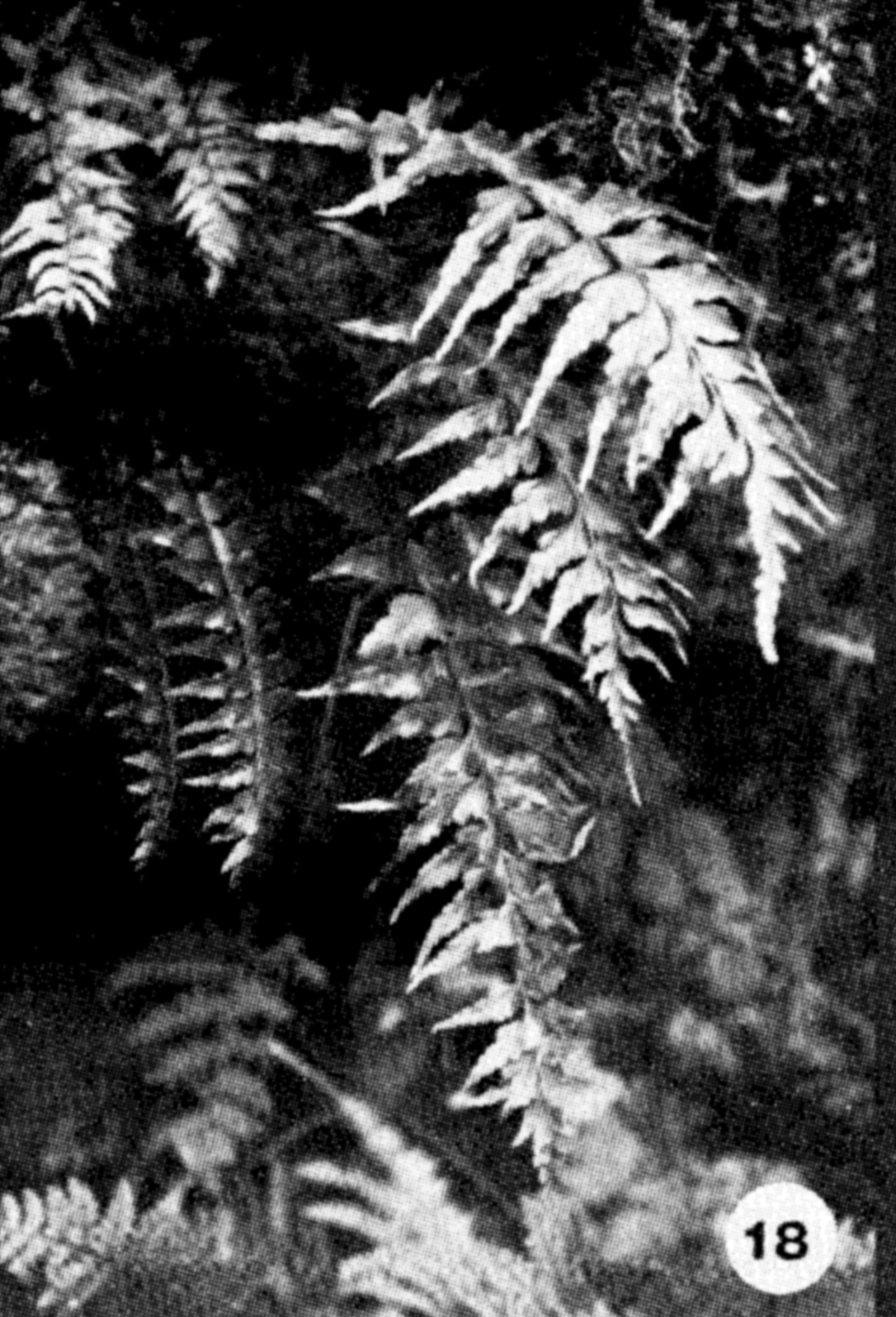 18. Asplenium contiguum Image from the Kaala Bog Plant Guide: Kaala Natural Area Reserve, Mt. Kaala, Oahu, a 1992 publication of the State of Hawaii (DLNR/DOFAW) .