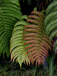 24. Sadleria cyatheoides Photo copyright (c) 2010 by Philip A. Thomas (imagesbypt@philipt.com).  Permission for non-commercial use is usually granted; please ask.