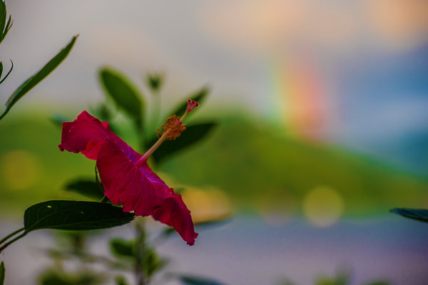 Hibiscus and morning rainbow