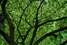 Tree canopy, Mcbryde garden