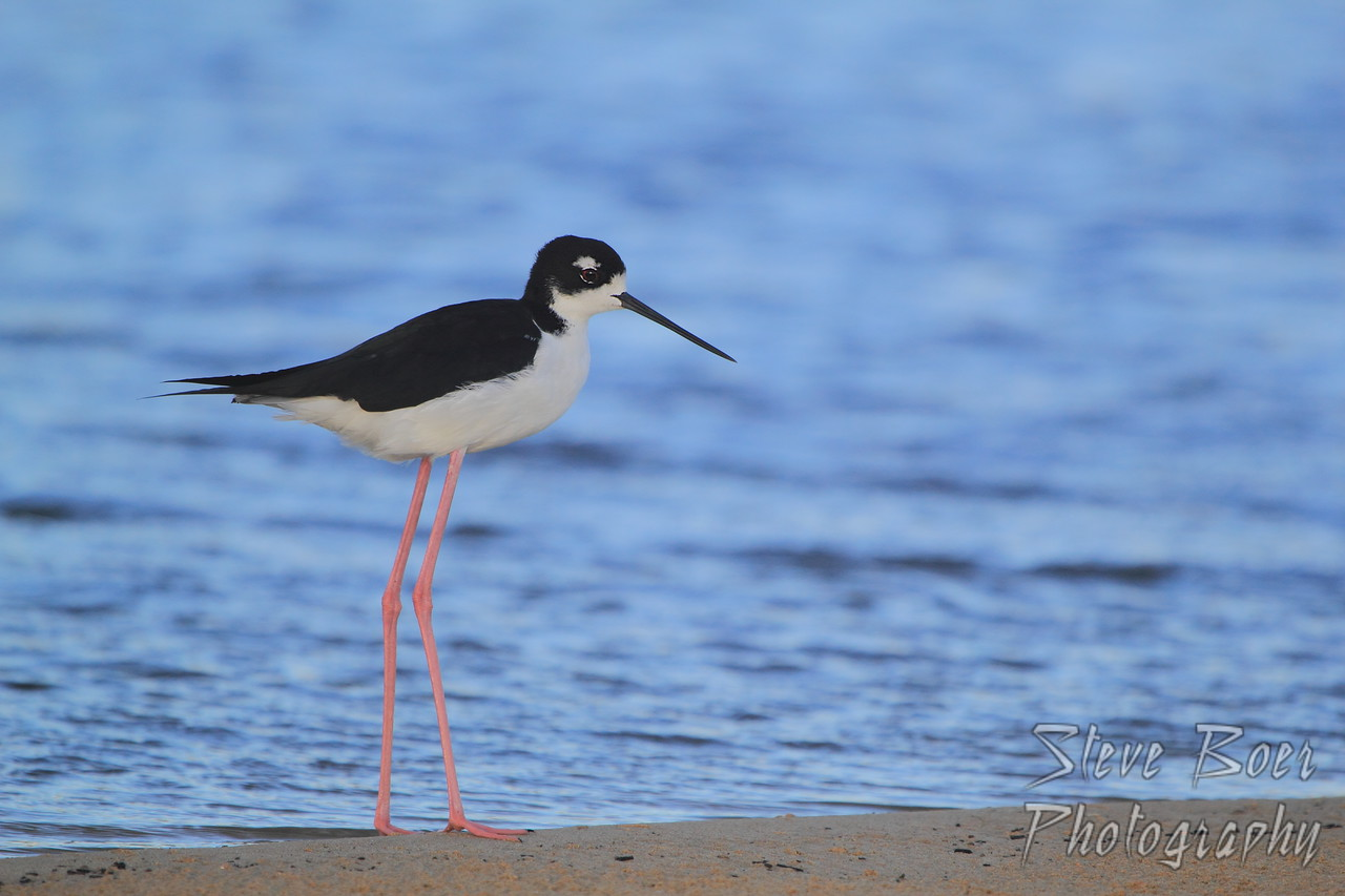 Black-necked Stilt Profile
