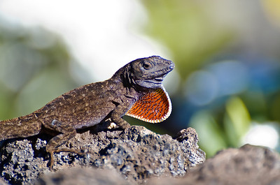Lizard displaying its dewlap.