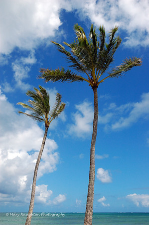 Palm Trees, Hawaii