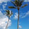 Palm Trees, Hawaii