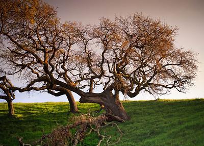 Acalanes Ridge - Oak
