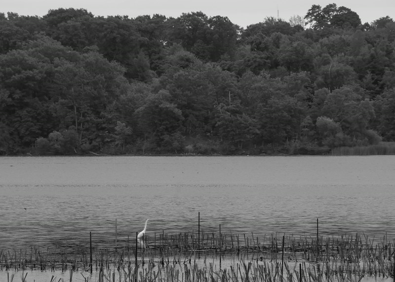 White heron in Coote's Paradise