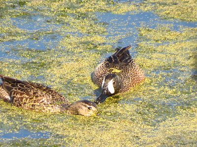 Blue Winged Teal? (I hate duck id)