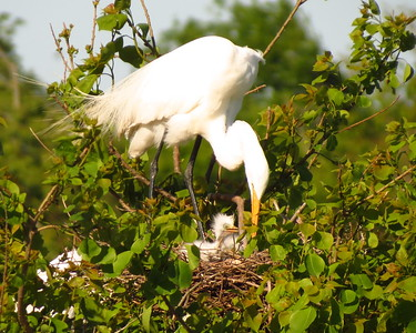 Great Egret with Babies