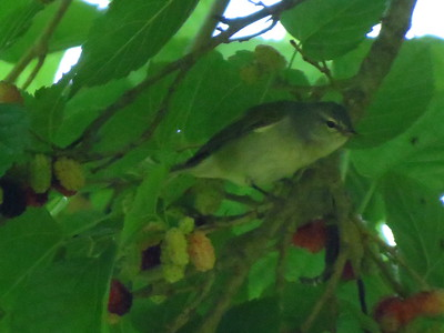 Was told this was a Warbling Vireo?