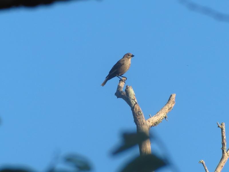 Brown Headed Cowbird female??