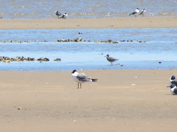 Laughing Gull and ?