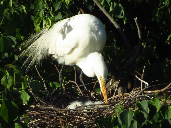 Great Egret Babies