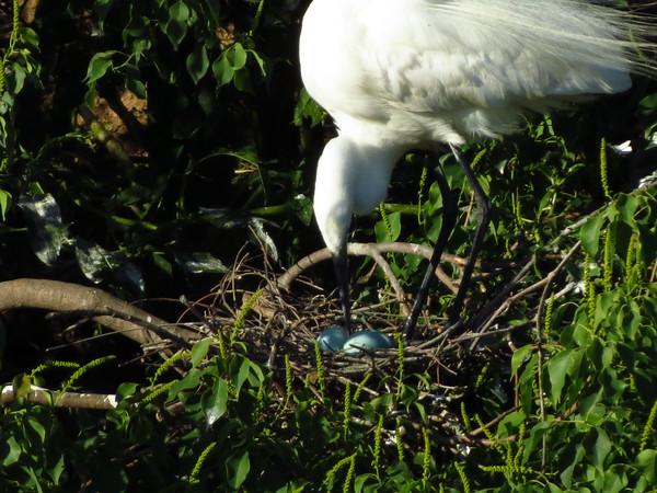 Great Egret Eggs