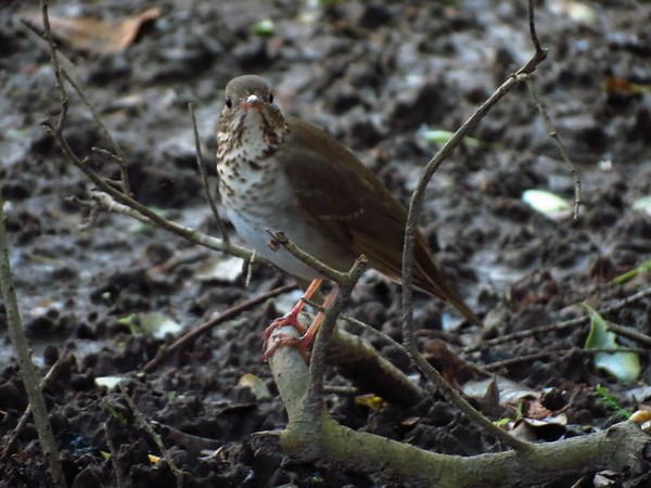 Gray Cheeked Thrush (I think)