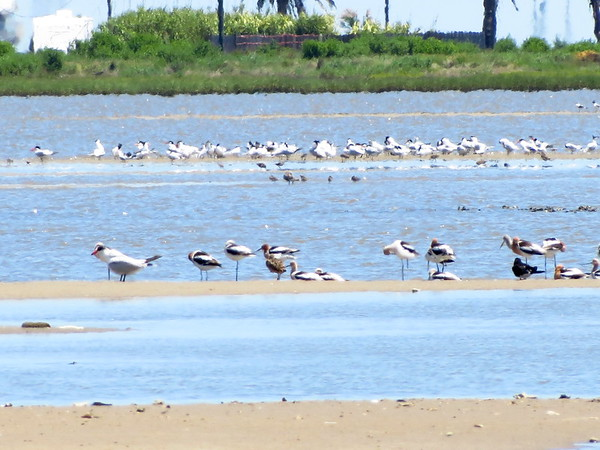 Avocets... others?